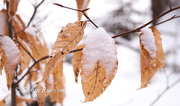 Snow on Beech Leaves
