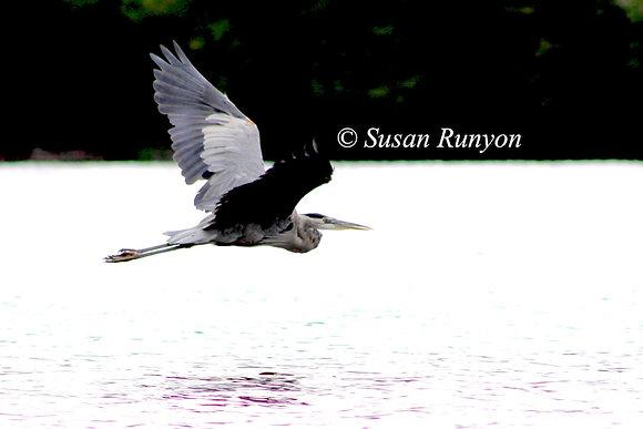 9 - Great Blue Heron in Flight-3