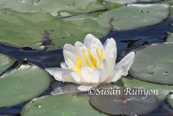 1 - Water Lily