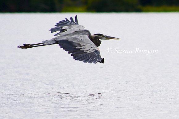 7 - Great Blue Heron in Flight-1