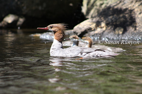 10 - Hooded Merganser and Young