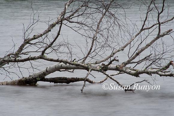 7 - Solitude (Birch Branch)