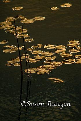 8 - Morning Gold