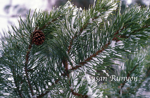 18-Pine Cone and Snow on Branch