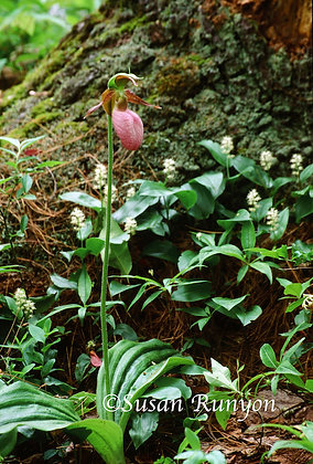 10 - Lady Slipper