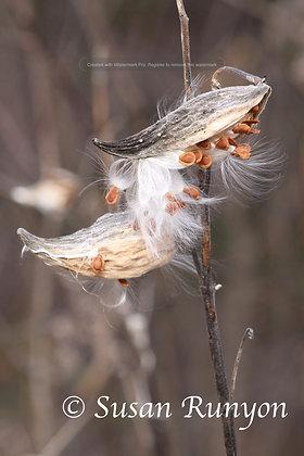 Milkweed Gone to Seed