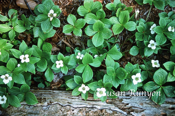 2 - Bunchberry Blossoms