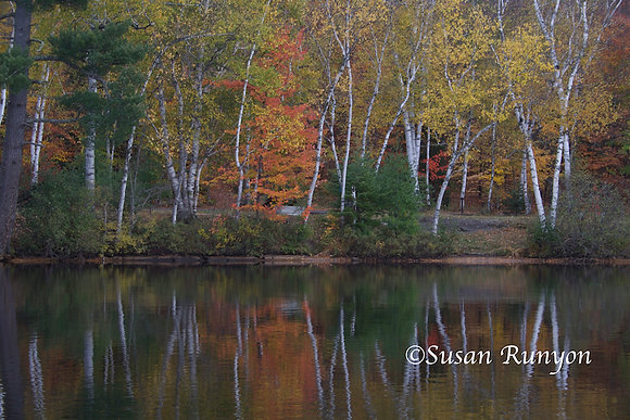 6 - Birches on Fish Creek Pond
