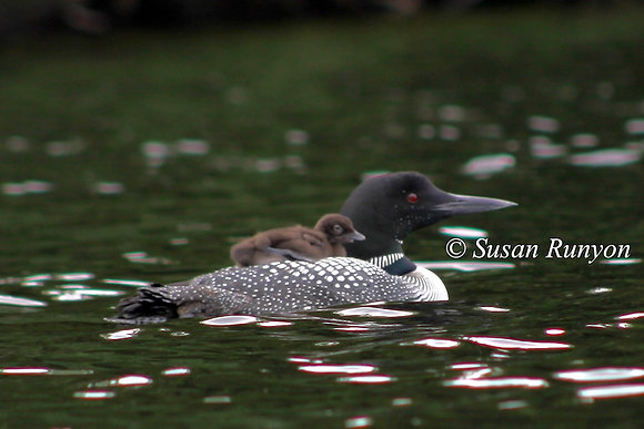 8 - Loon with Baby on Board