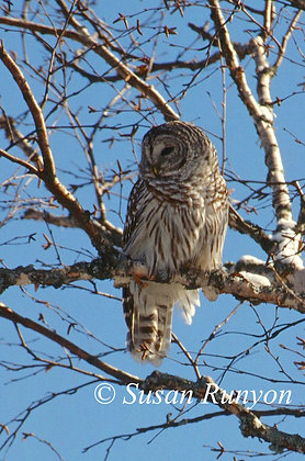 2 - Barred Owl in Birch