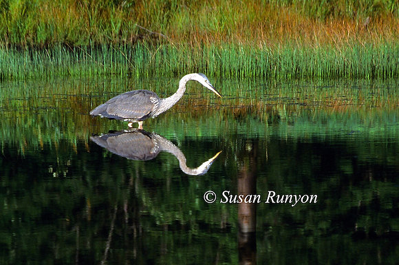 6 - Great Blue Heron Reflection