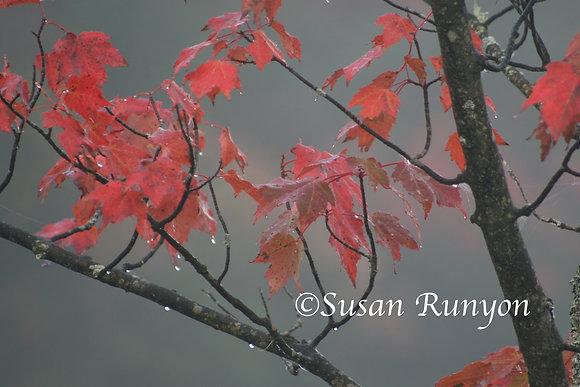 Rain on Maple Branch