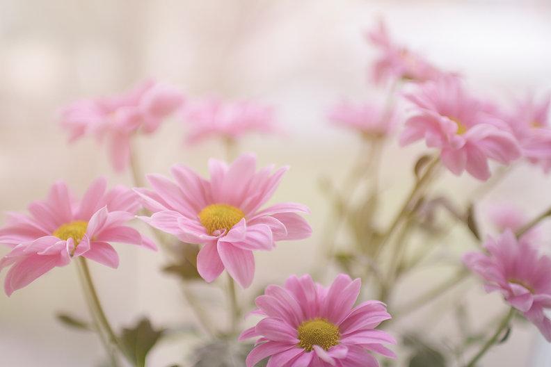 pink%20daisy%20flower%20plant_edited.jpg