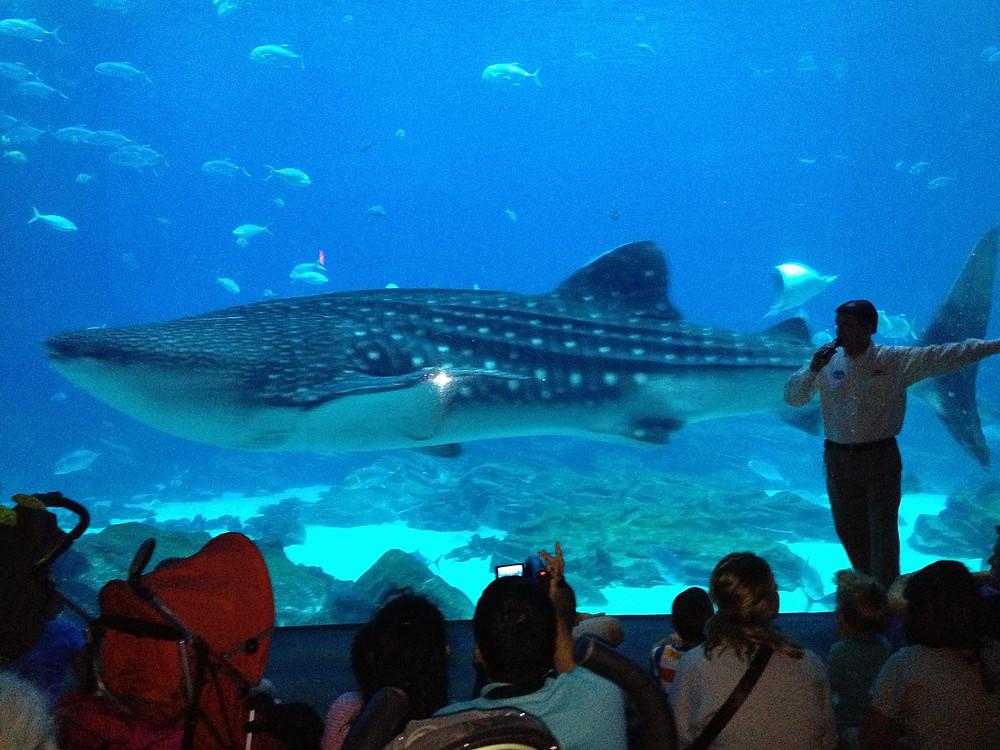Whale Shark window for main aquarium visitors