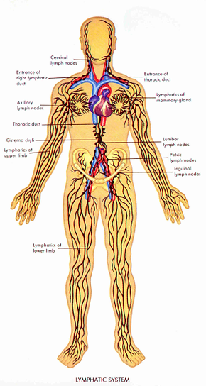 The Lymphatic System And Qi Gong Form Exercise Shiatsu Morden