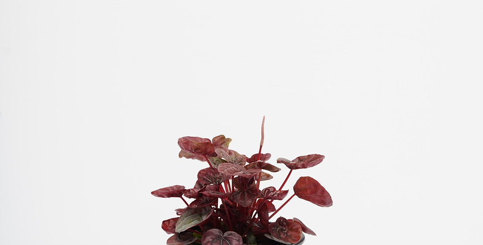 """4"""" Peperomia Schumi Red"""