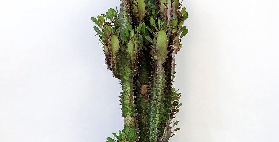 5GAL Euphorbia - Trigona Red