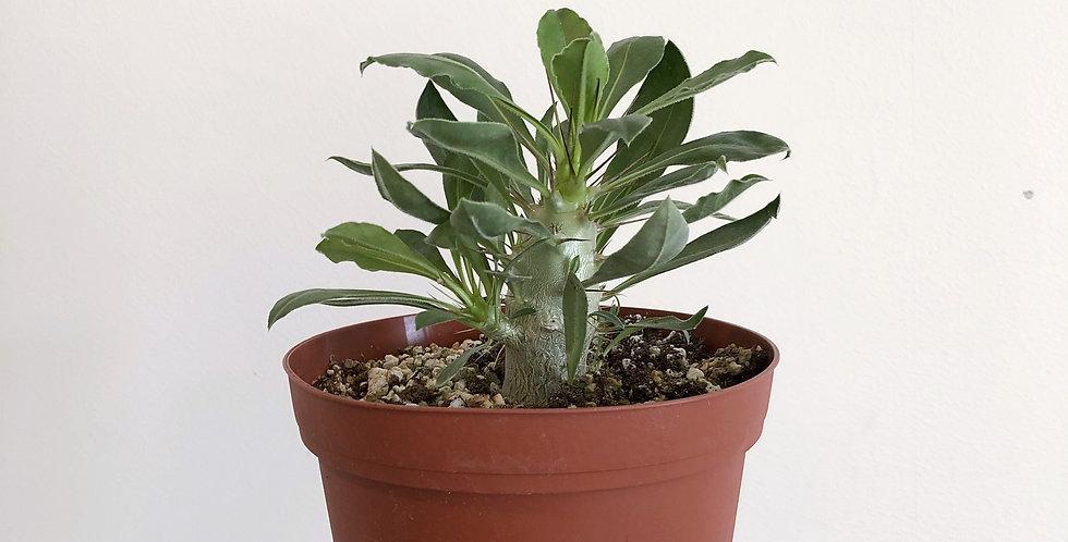 Pachypodium Lealii Saundersii Compacta