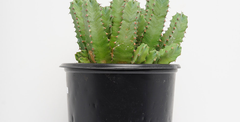5GAL Euphorbia - Resinifera