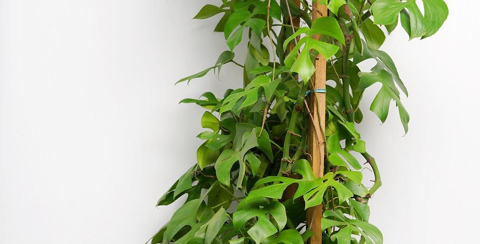 "12"" Philodendron Tetrasperma With Trellis"