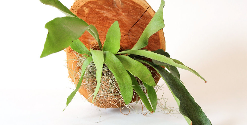 Staghorn Mounted on Plaque