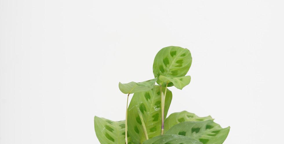 "4"" Maranta - Green Prayer Plant"
