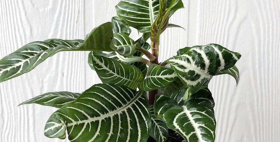 """4.5"""" Aphelandra - Zebra Plant"""