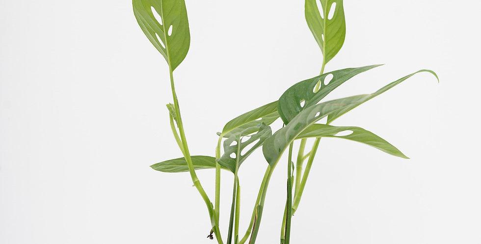 "4"" Philodendron - Adansonii"