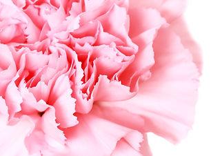 pink carnation on white background.jpg