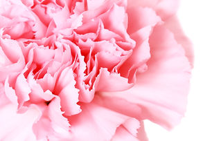 pink carnation on white background.jpg