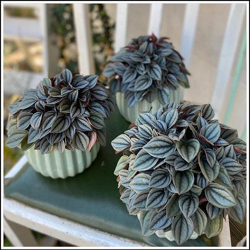Pepperomia Plant