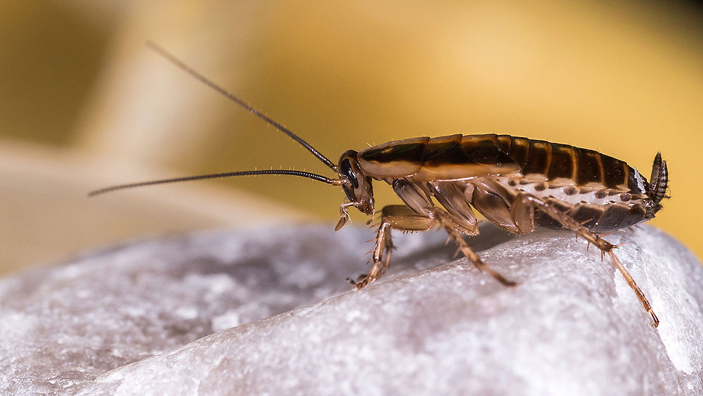 The German Cockroach can be extremely difficult to get rid of because of its fierce resistance to destruction.