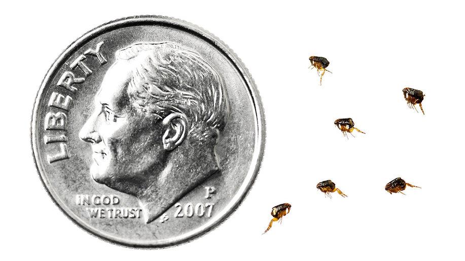 Super D Pest Control, Flea and Tick Infestation