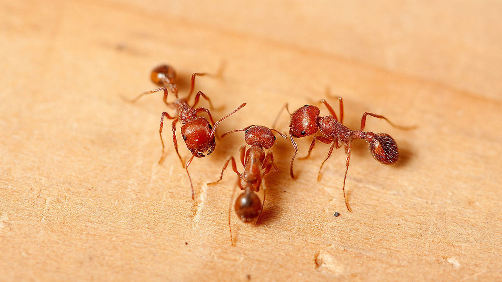 Since then they have spread like fire across the southeastern United States, including right here in Florida. It is important to know a few things about fire ants in Florida and how to avoid their painful stings.