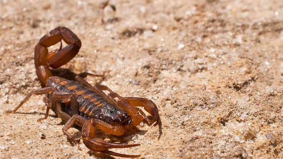 Super D Pest Control, Bradenton, Florida, Florida Scorpion Pest Control