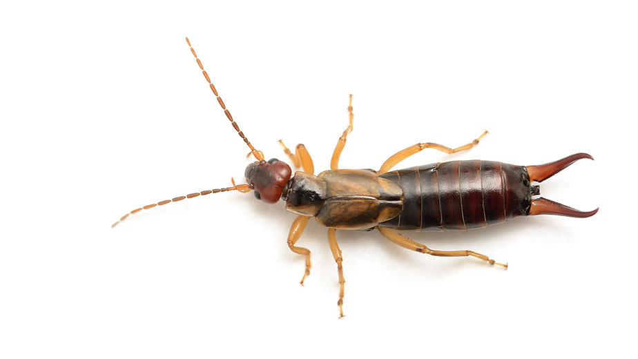 Super D Pest Control, Bradenton, FL, Earwig Removal