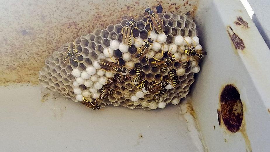 Super D Pest Control, Bradenton, FL, Wasp Removal