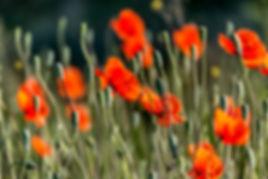 poppys.jpg