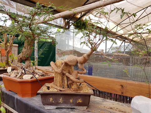 אוסף בונסאי פארק מיטל משתלת רגב (34).jpg