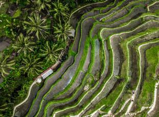 Rice Fields - Ubud, Bali