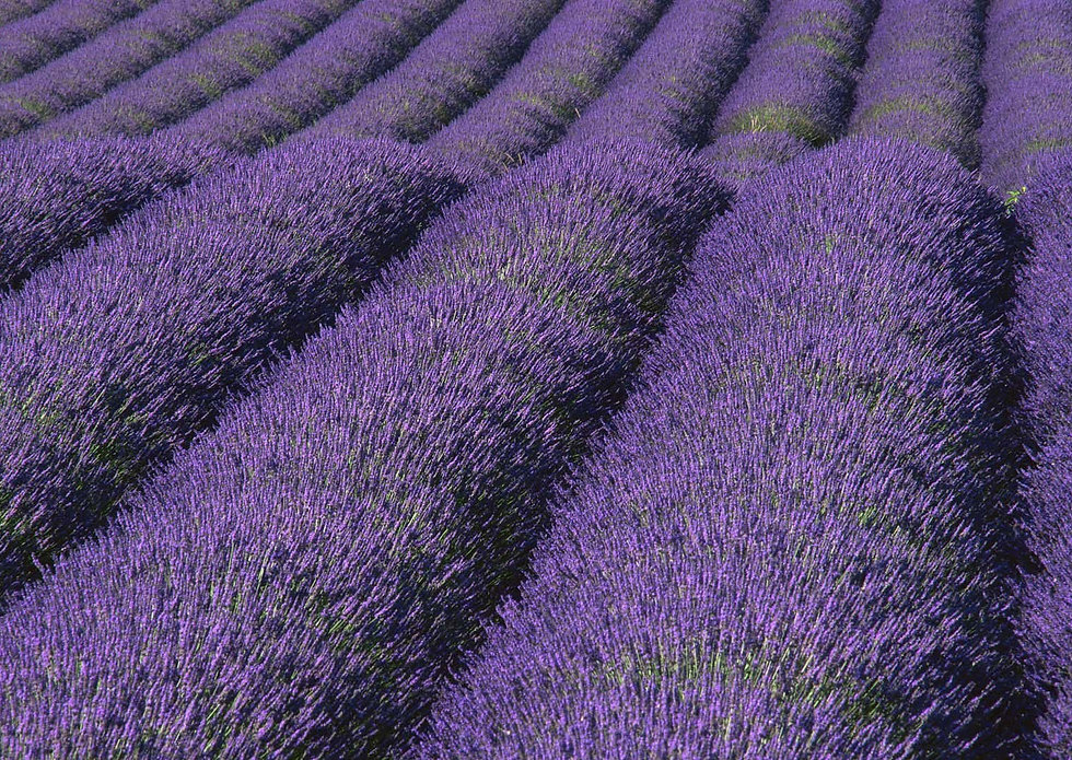 Sweethaven Lavender
