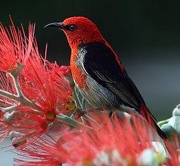 scarlet-honeyeater-bird-red-feathers_edi