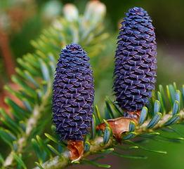 fir-tannenzweig-pine-cones-needles-56890