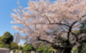 青山桜.jpg
