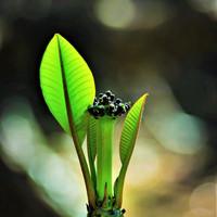 若芽のプルメリア