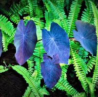 エキゾチックな紫タロの葉