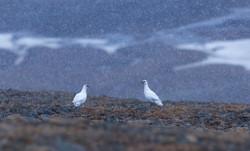 Svalbard Ptarmigan