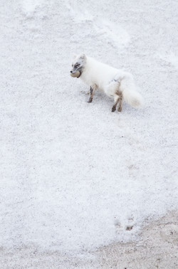 Arctic Fox with duck egg