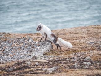 Tori's Photos Of Svalbard's Animals