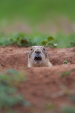 Black-Tailed Prairie-Dog
